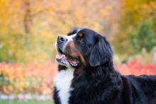 Bernese Mountain Dog Posing In Park Background. Beautiful Autumn.