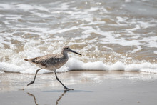Willet On A Seashore
