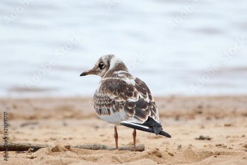 Photo chick sea gull sitting on the beach