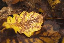 Fallen Oak Leaves With Water D...