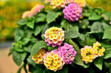 Lantana Camara Or Tickberry Big-sage With Green Leaf And Bokeh Background. Flower In Spring Season.