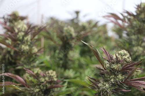Photo Purple Cannabis Flowers