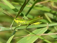 Green Grasshopper On The Grass
