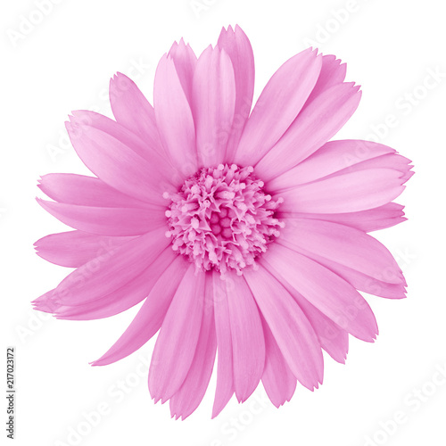 Poster de jardin Dahlia flower lilac calendula, isolated on a white background. Close-up. Element of design.