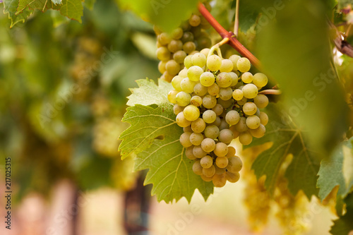 Foto Cluster of yellow grapes in the vineyard