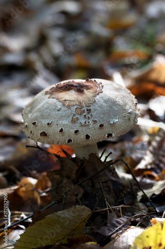 Fotografie, Obraz Young parasol mushroom (Macrolepiota procera or Lepiota procera) growing in fore
