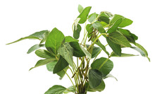 Green Soybean Bush.
