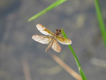 Eastern Amberwing Dragonfly (P...