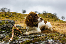Springer Spaniel Posing On Roc...