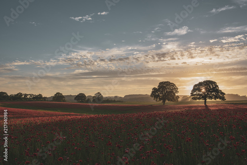 A Field of poppies at sunset with trees in the background