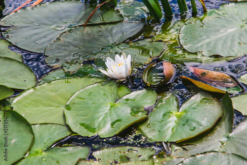 Deurstickers Waterlelies white water lilies among green leaves on a pond on a sunny afternoon