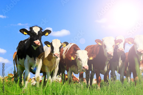 Photo Stands Cow Calves on the field