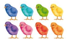 Poussin- Joli- Coloré- Couleur-duveteux- Illustration- Oiseau