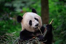 Panda Bear Looking Ahead While...