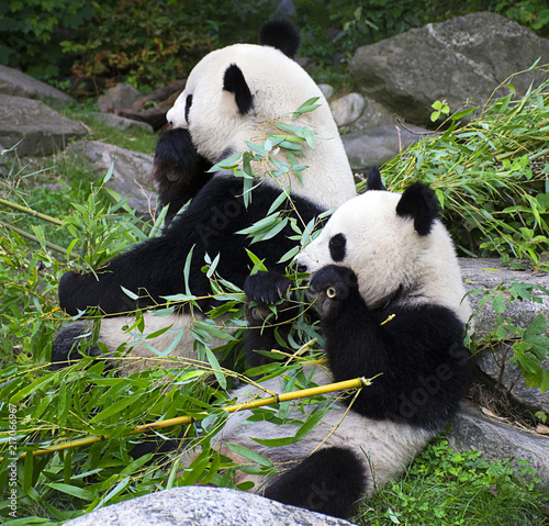 Panda bears eating bamboo