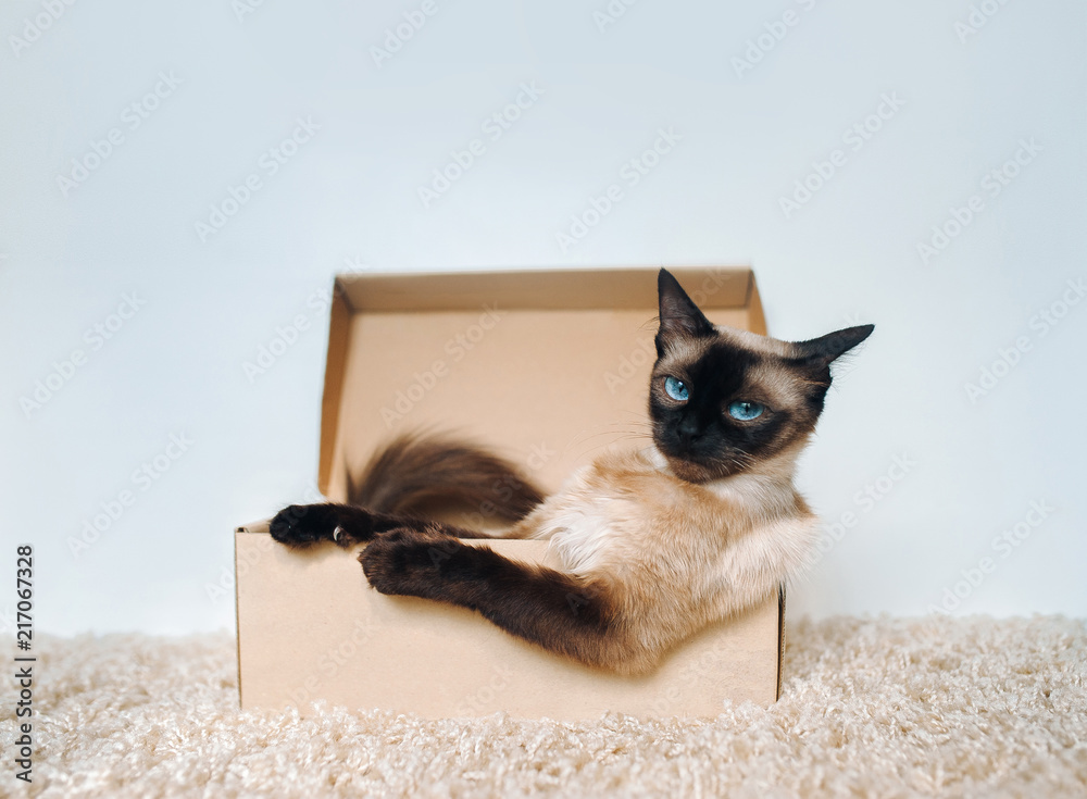 Fototapeta Poker Face. Sassy muzzle of cat boss. Siamese cat in a cardboard box. Cat's habits.