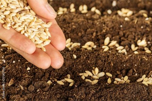 Fototapeta Human hand holding grains and gardening obraz