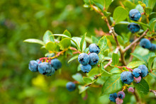 Close Up Of Ripe Blueberries O...