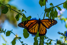 Monarch Butterfly With Blue Sky Background
