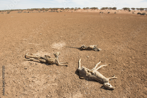 Fototapeta Sturt national park, New South Wales, Australia, dead kangaroos during  drought conditions