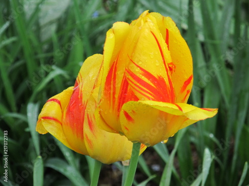 Yellow and Red Tulip Poster