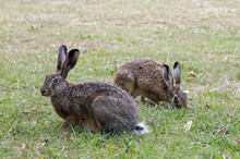 Two Wild Hares In A Park