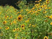 Field Of Blackeyed Susan Flowers