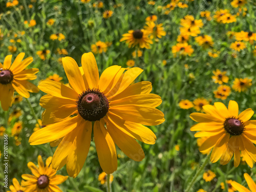 Fotografija  Field of blackeyed susan flowers