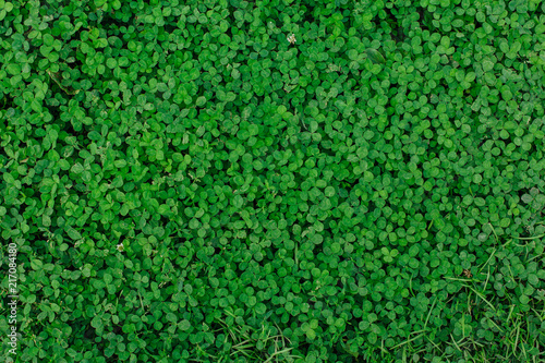 Natural green grass clover texture. Natural background.