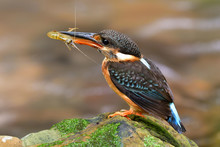Blue-banded Kingfisher (Alcedo Euryzona) Beautiful Mother Bird Carrying Small Shrimp Meal While Percing On Rock In Stream To Feed It Chicks, Exotic Wild Animal
