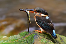 Female Of Blue-banded Kingfisher (Alcedo Euryzona) Keen Mother Bird Carrying Long Tail Lizard While Percing On Rock In Stream To Feed It Chicks, Exotic Wild Animal