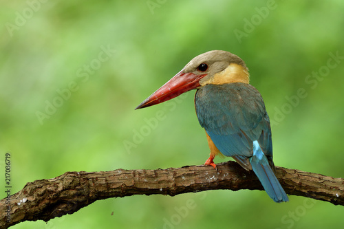 Fotografering  stork-billed kingfisher (Pelargopsis capensis) beautiful pale blue wing light br