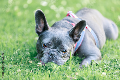 Blue Male French Bulldog in a playful posture. Young Frenchie lying on the grass in an off leash dog park in Northern California.