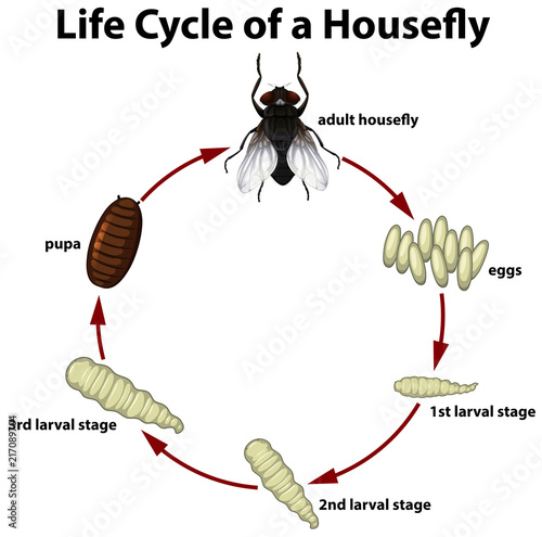 Life circle of a housefly