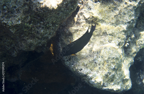 Foto op Plexiglas Onder water Fish surgeon at the rocky bottom