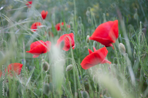 Foto op Aluminium Klaprozen Red Poppy Flowers in Green Fields in Summer.