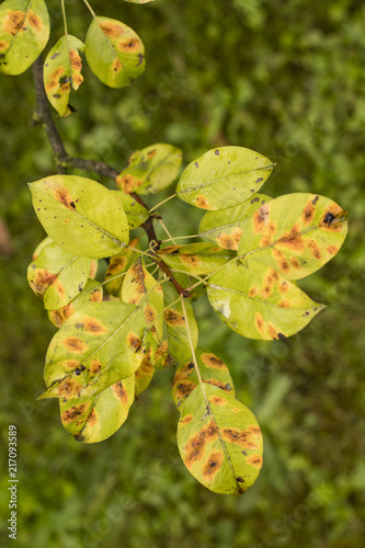 Pear cut on pear leaf.