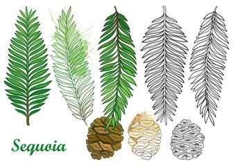 Vektorski set s obrisom sekvoje ili kalifornijske sekvoje u crnoj i pastelno zelenoj boji na bijeloj pozadini. Konturirajte crnogorično drvo borom, šišarkom i grančicom za botanički dizajn ili bojanku.