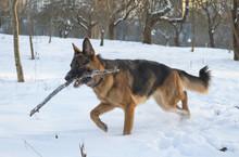 German Shepherd In The Winter Park