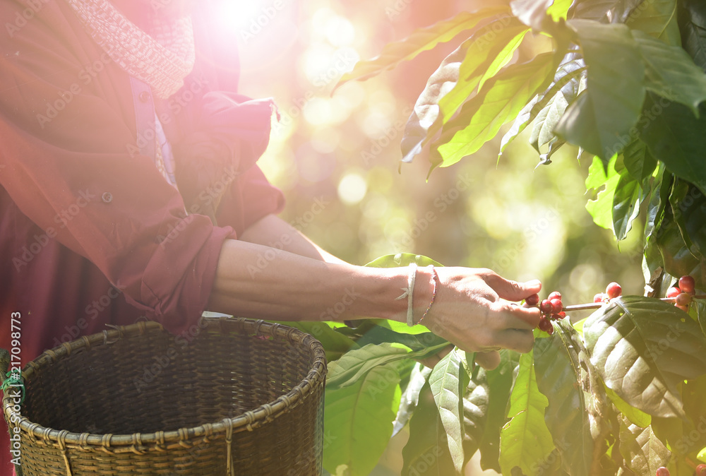 Fototapety, obrazy: Coffee beans ripening on a tree.