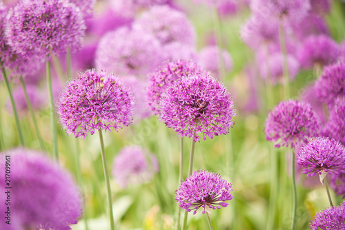 beautiful bright and fluffy flowers of lilac allium blooming in the park or in t Canvas Print