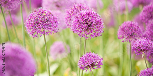 Fototapeta Czosnek - kwiaty  beautiful-bright-and-fluffy-flowers-of-lilac-allium-blooming-in-the-park-or-in-the-garden