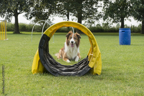 Fotografie, Obraz  Border collie mixed dog lying down in a dog sports course with hoopers and other