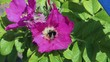 Close up of bumble bee flying between two pink flowers with green leaves. Summer UK
