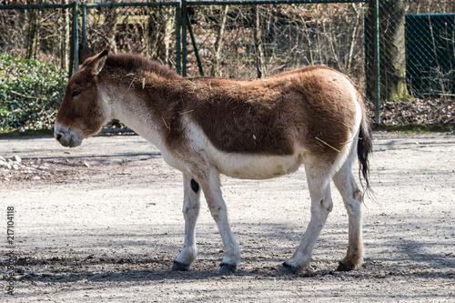 Kiang - Equus kiang - Esel
