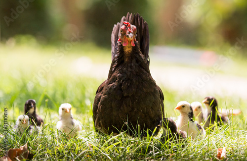 Hen with baby chickens Fototapeta