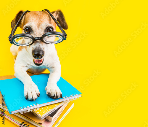 back to schoool small puppy dog on bright yellow background.
