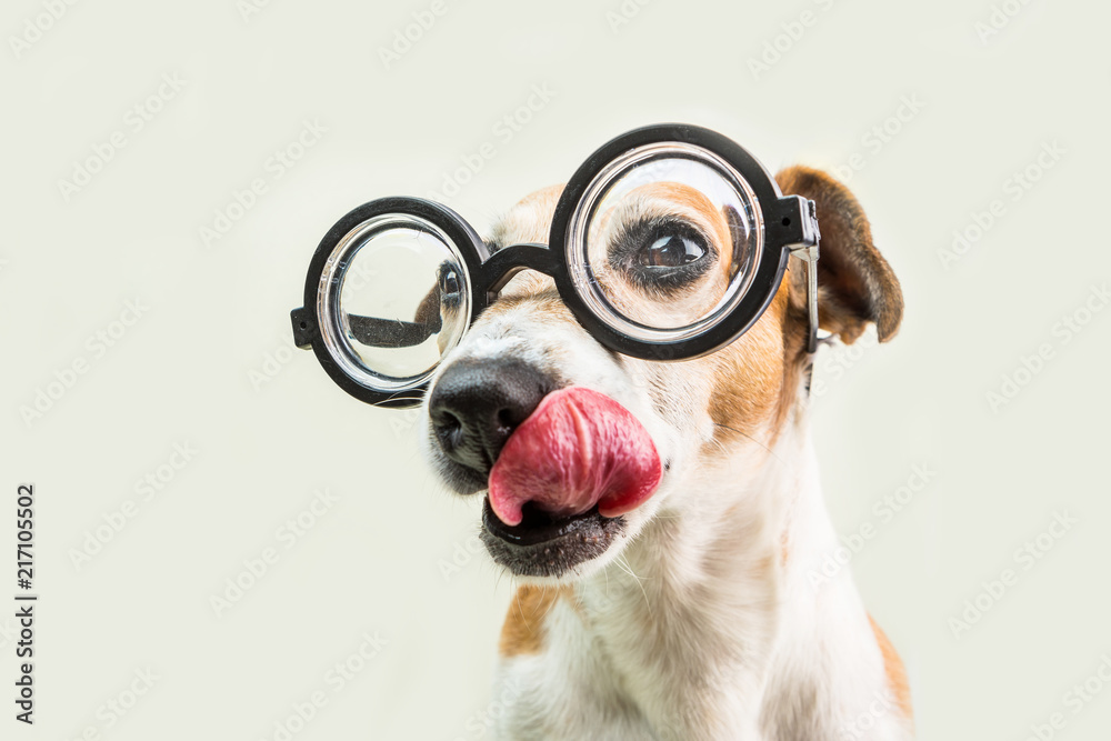 Licking nerd funny dog muzzle in round glasses close up portrait. Smart professor back to school funny pet. Gray background. Enjoy the moment