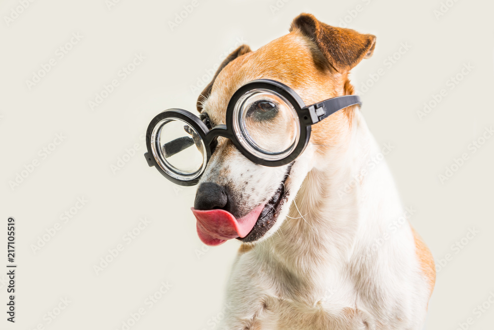 Adorable licking dog Jack Russell terrier in glasses. Grey background. fool around. Funny muzzle