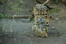 Clouded Leopard Is Walking Towards From The Shadows To The Light. Big Cat Male From A Darkness. Zoo In Czech Republic. Neofelis Nebulosa. Very Rare Creature.